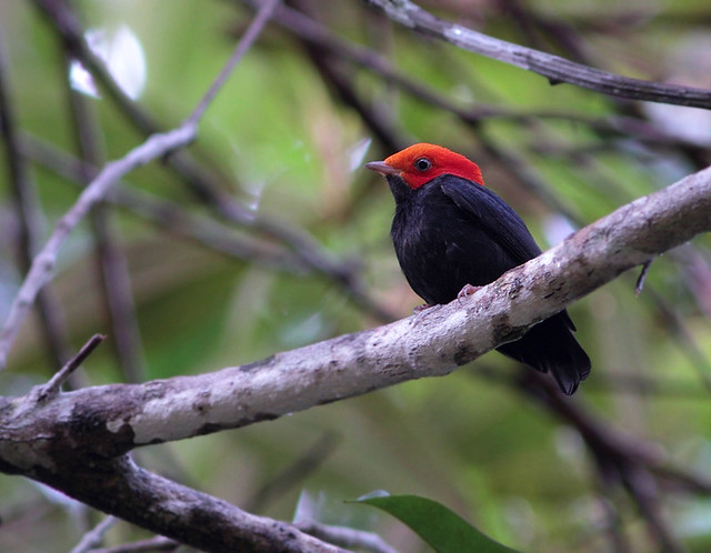 Red-headed Manakin, male