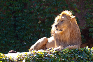 lion 2 - Lincoln Park Zoo, Chicago.jpg | by opacity