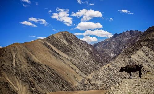 landscape cow view ladakh