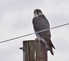 Gyrfalcon (adult, gray phase male) by Keith Carlson