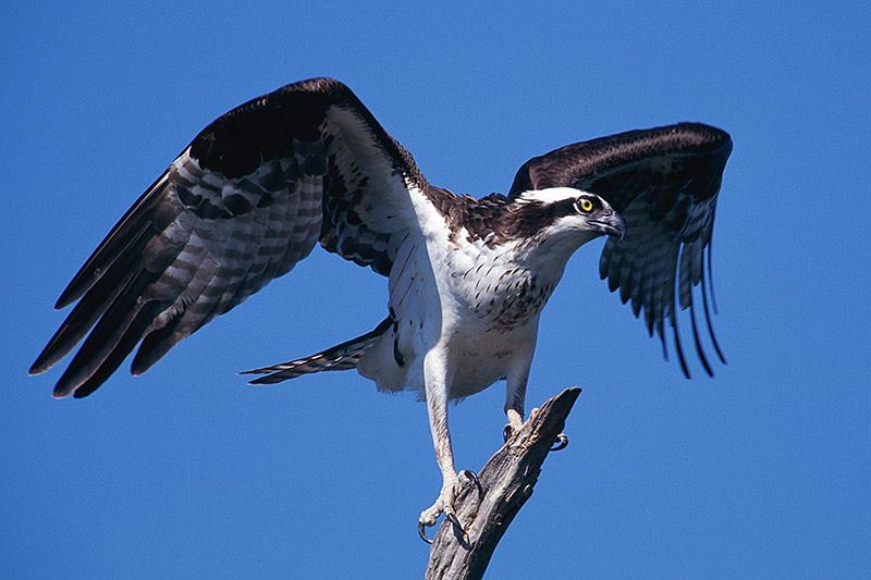 Wildlife in British Columbia, Canada: Osprey