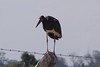 Abdim's Stork by lisaellersf