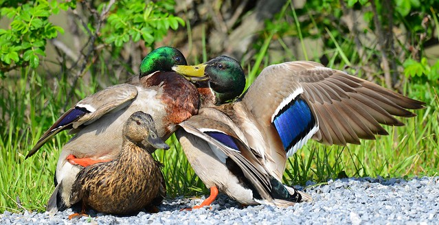 Three Ducks Mating