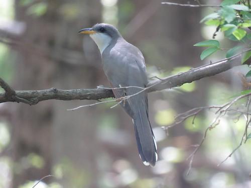 Yellow-billed Cuckoo | by Justin Lee (NoNameKey)