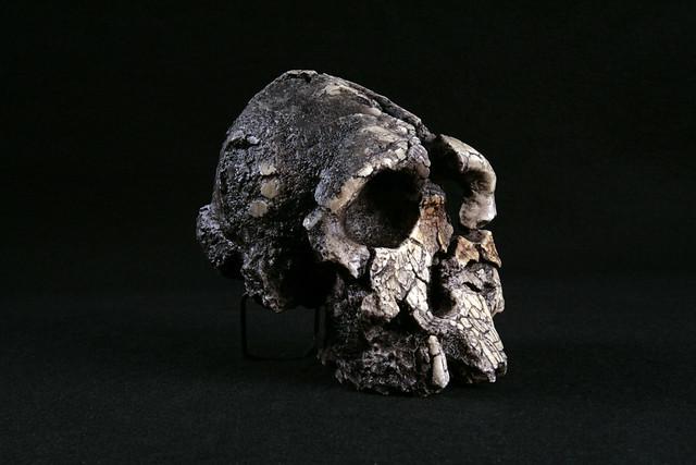 Hominid_Skull-Kenyanthropus_platyops_KNM-WT-40000_033.jpg