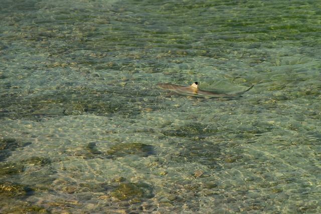 Blacktip Shark in Persian Gulf off Kish Island, Iran (Persia)