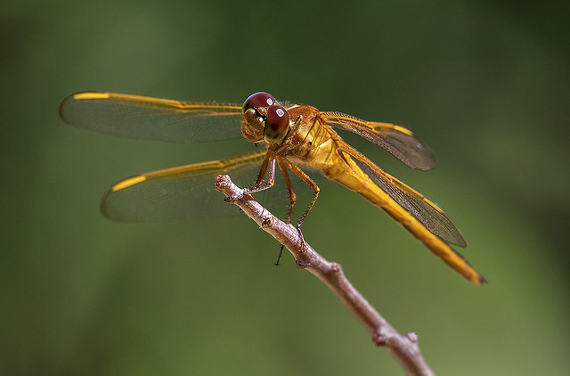 Golden Winged Skimmer Dragonfly, Fairchild Tropical Botanic Garden.