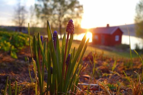 trees light sunset plants sun flower sunshine garden evening spring warm dof outdoor may depthoffield grapehyacinth