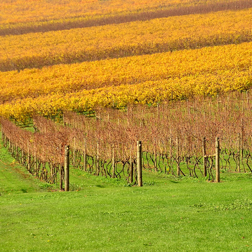 autumn color colour vineyard vines nikon pattern patterns australia victoria winery rows vic gippsland warragul westgippsland d5100 wilddogwinery nikond5100 phunnyfotos gippypics