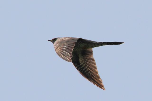 Cuckoo in flight (Cuculus canorus)