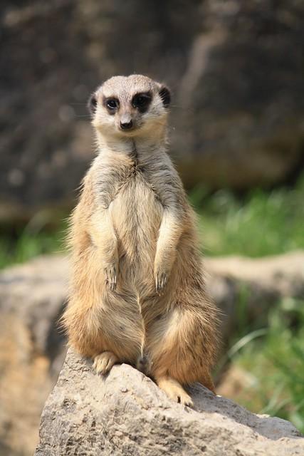 Erdmaennchen (Opelzoo) // meerkat (Opel Zoo)