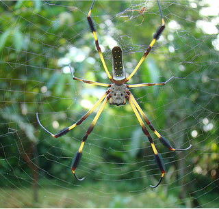 Nephila clavipes, a Giant Orbweaver spider | by Dick Culbert