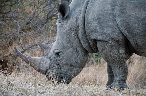 Rhino | by rogersmj