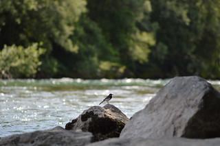 Bird on a rock | by Angelo Hulshout