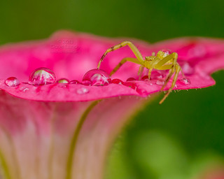 2013-08-16: (227/365) Green Crab Spider P1100556 | by lundyd