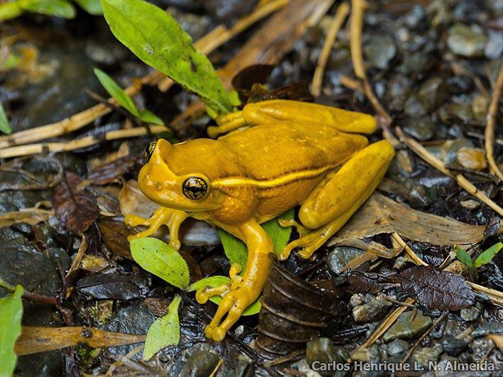 Porto Alegre Golden-eyed Treefrog