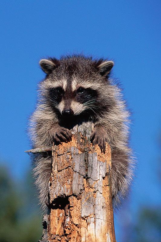 Wildlife in British Columbia, Canada: Raccoon