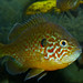 Flickr photo 'Pumpkinseed (Lepomis gibbosus)' by: berniedup.