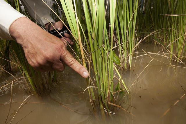 Rice pest management in Cambodia