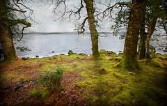 Lakeside mosses