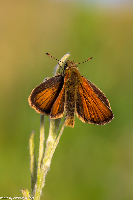 Schwarzkolbiger Braun-Dickkopffalter mit geöffneten Flügeln