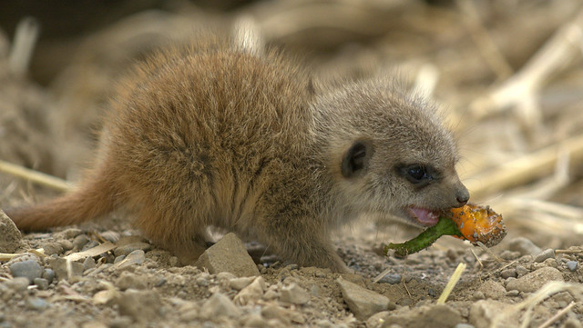 Baby Meerkat Enjoying Lunch