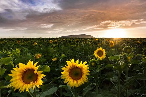sunset flickrfriday atardecer sunflower wow