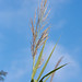 Flickr photo 'Phragmites australis CFG910-D136' by: Sarah Gregg Petriccione.