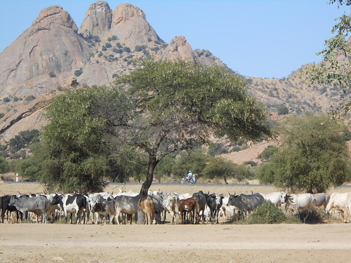trees mountains cows chad arbres herd vaches montagnes tchad troupeau guéra