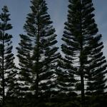Trees in Oahu