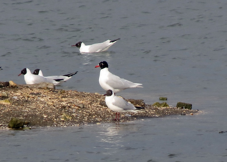 Mediterranean Gull - Larus melanocephalus & Black-headed Gull - Chroicocephalus ridibundus