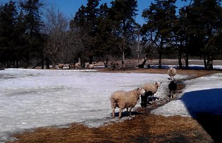 Sheep In Pasture | by Virtualdistortion