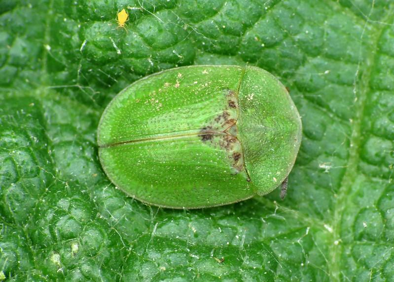 Green Tortoise Beetle - Cassida rubiginosa