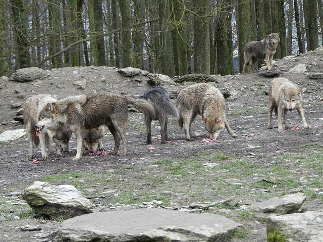 Wolfsrudel, Bad Mergentheim