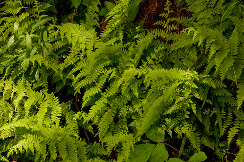 plants fern green leaves june tom virginia nikon va d40 mouthofwilson 2013