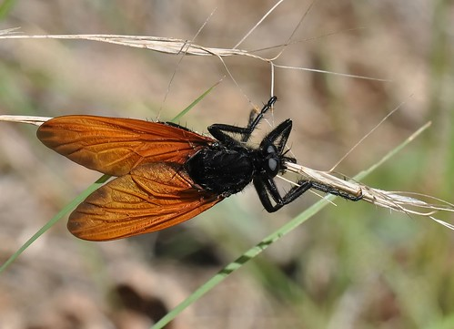 A robber fly, Wyliea mydas