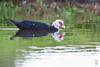 Muscovy Duck (Cairina moschata)-2393.jpg by Stein Arne Jensen