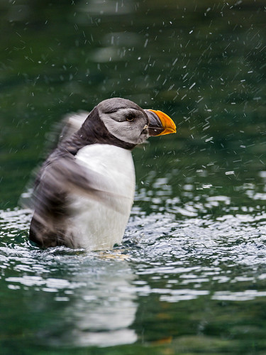 Puffin in action II | by Tambako the Jaguar