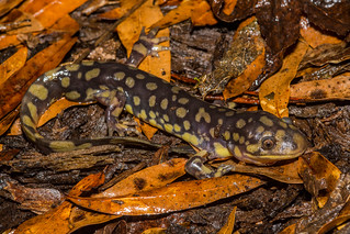 Tiger salamander. | by Joshua W. Young