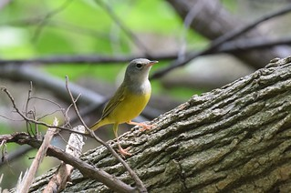 Mourning Warbler   by Wildreturn