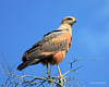 Savanna Hawk (Buteogallus meridionalis) by Frank Shufelt
