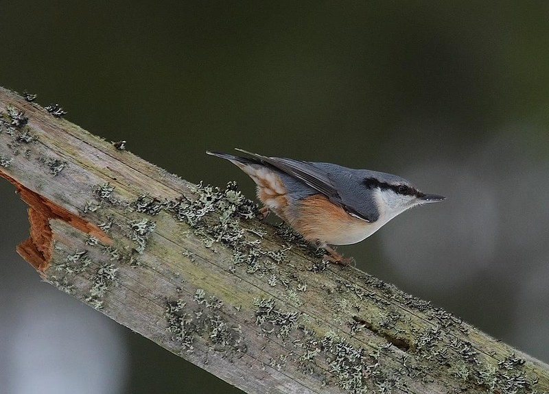 Northern Nuthatch