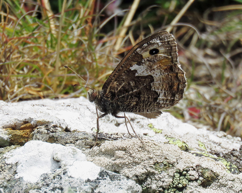 Grayling - Hipparchia semele
