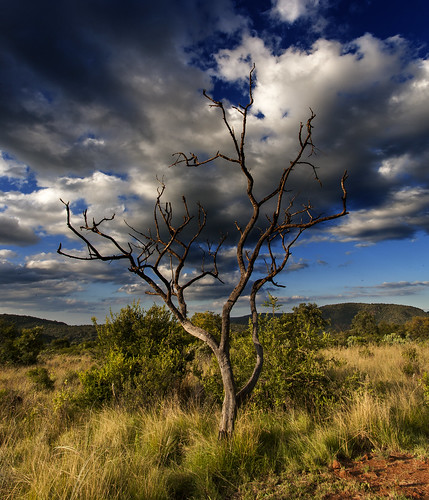 southafrica acacia mpumalanga knobthorn lydenburg acacianigrescens kuduranch kuduprivatenaturereserve kudugameranch kpnr