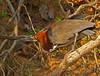 Vaco Colorado, Rufescent Tiger-Heron (Tigrisoma lineatum) by Francisco Piedrahita