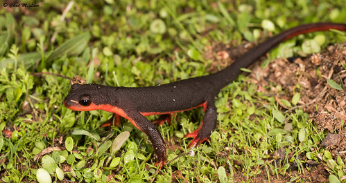 Red-bellied Newt (Taricha rivularis) Lifer | by Chad M. Lane