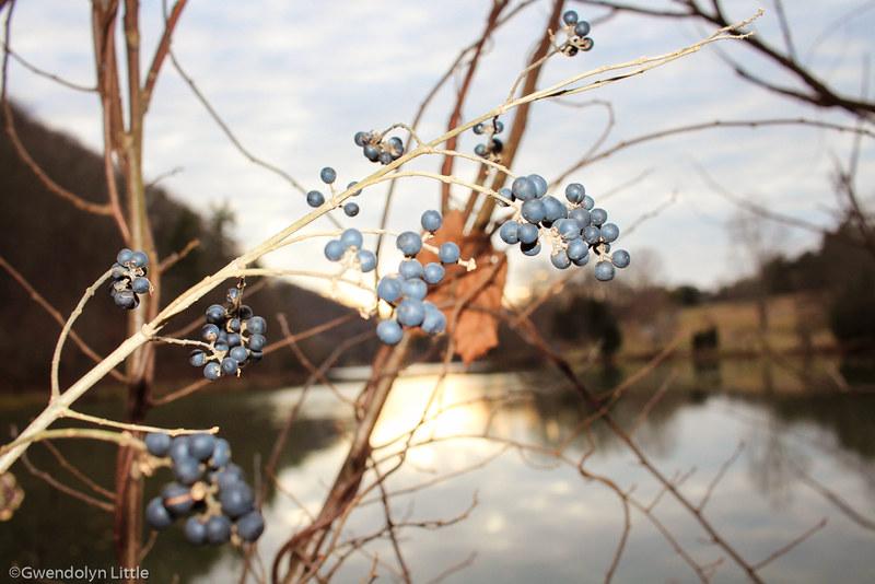 Privet Berries