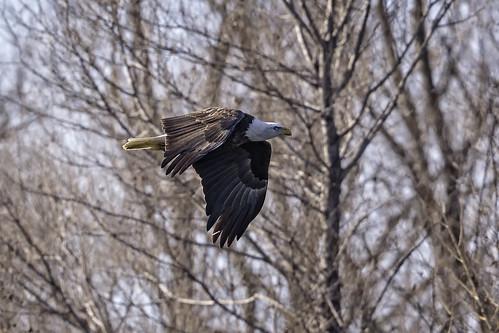 Bald Eagle #3   by lennycarl08