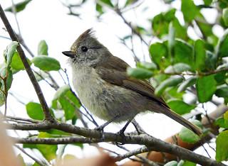 Oak Titmouse-Agoura, CA-DSCN6103 | by Tricolor Brian