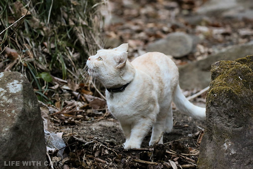 4T4A4605 Cream tabby Japanese cat 薄茶トラ猫